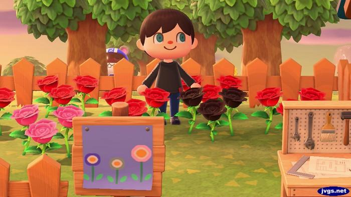 First Black Rose Blooms Jeff S New Horizons Blog